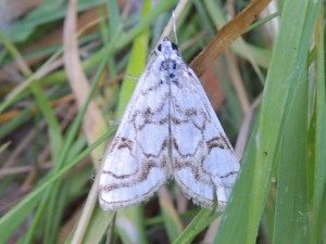 Linford Lakes Nature Reserve Moth Report, June 2020 - Gordon Redford