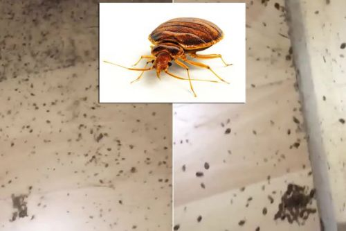 Skin-crawling footage captures home covered in 'worst-ever' case of bed bugs