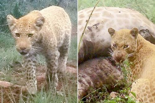 Forget the pink panther! Rare strawberry leopard spotted in South Africa
