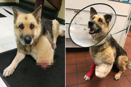 Dog 'chews own leg off' after being left chained up by cruel owner with no food