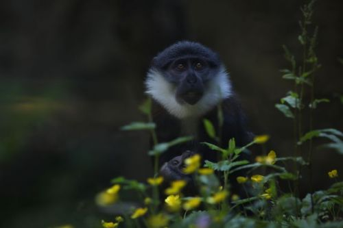 First picture of adorable baby monkey born at Scots zoo during lockdown