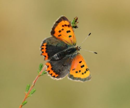 Butterfly group concerned by big change in Small Copper numbers