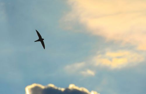 Swifts arriving later than usual due to bad weather