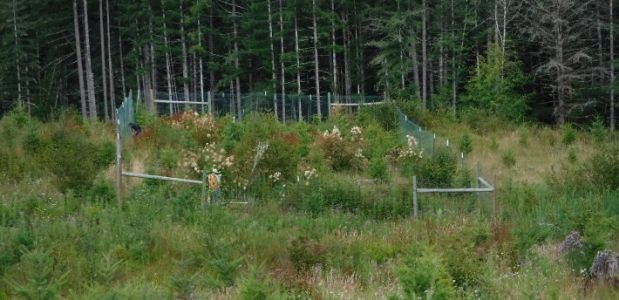 Often derided as pests, deer and elk can help young Douglas-fir trees under some conditions