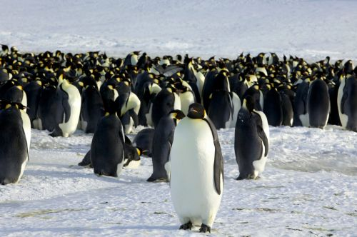 11 new colonies of emperor penguins have been discovered in Antarctica with satellite images