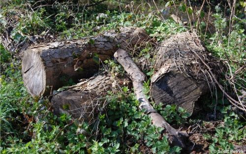 Put rotting logs in your garden to help bugs whose habitats are being destroyed by patios and decking, nature organisations say