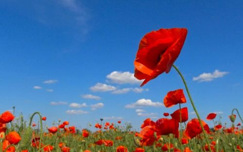 Red poppy to remember civilian victims of war and terror for first time
