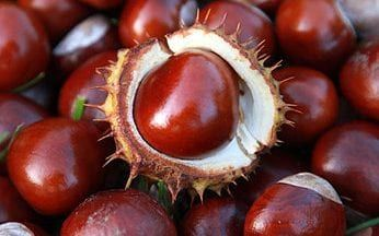Dog owners warned to keep pets away from conkers, because undersized crop poses poisoning risk