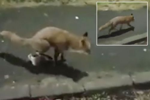 Fox caught on camera urinating into man's cup of tea - and he's not happy about it