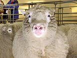 Scientists who cloned Dolly the Sheep developing new coronavirus treatment using immune cells