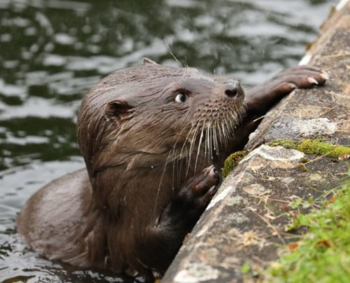 GALLERY: Unusually outgoing otter puts on a show for visitors at Moray park
