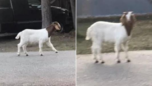 Fugitive goat is still on the run two days after police started trying to track him down