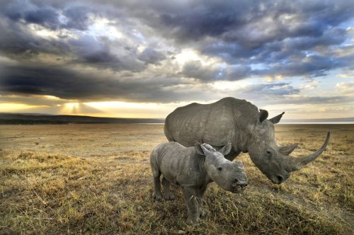 Anti-poachers armed with guns and dogs are battling the illegal rhino trade in Africa. They're ready to kill for it