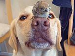 Labrador balances partridge chicks on her nose