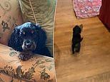 Princess Diana's brother Earl Spencer shares an adorable video of his new puppy