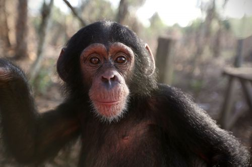 New BBC series Baby Chimp Rescue follows life of abandoned animals - and we are crying already