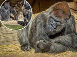 Elderly gorilla given antibody treatment while suffering serious case of COVID-19 at San Diego Zoo