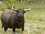 Woman in her 40s suffers a serious injury to upper leg after being attacked by buffalo in Sydney