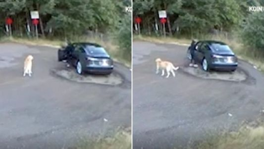 Confused golden retriever wags its tail as Tesla-driving owner abandons it in park and races off