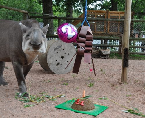 Inca the tapir celebrates her 21st birthday with a party and a birthday cake