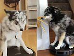 Shenzi the dog hops onto the back of a robot vacuum to move round house