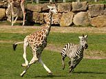 Hilarious picture captures giraffe and zebra staging their own Wacky Races at Wiltshire safari park