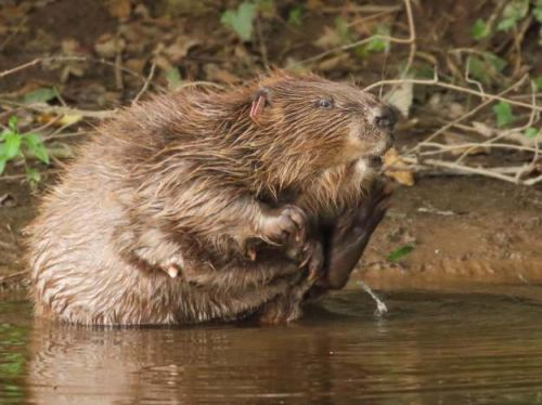 England's first wild beaver colony in centuries is 'helping communities and climate'