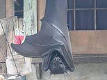 Photo of golden-crowned flying fox in Philippines gives social media users a scare