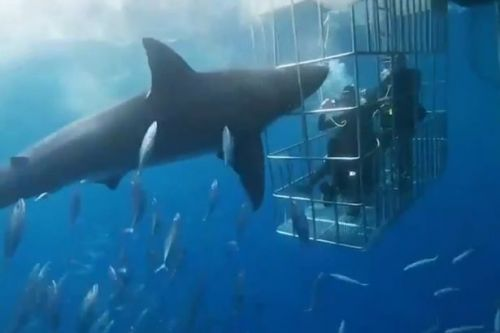 Great white shark dies after lunging at divers in cage and getting trapped