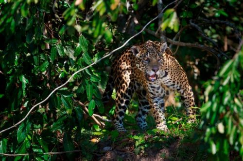 Victims of Amazon fires include 500 jaguars