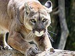 Two mountain lions are shot in Colorado a day after a boy was bitten in the head
