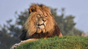 Fancy camping under the stars with lions? You can at this UK wildlife park