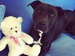 Mother goes to extreme measures to stop her 'gentle' staffy named Sarge being put down