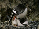 Gay penguin 'fathers' successfully hatch surrogate egg for the second time