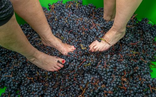 Vineyard using traditional bare foot method for Christmas sparkling wine subject volunteers to fungal foot check