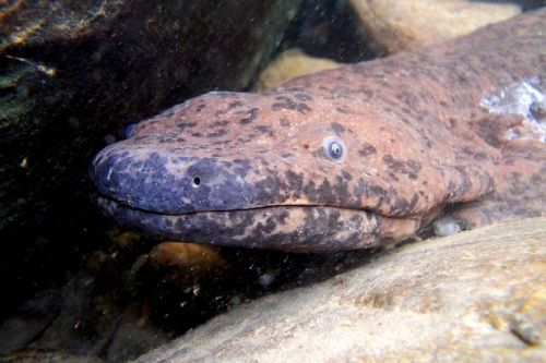 Giant salamander as long as a King Size bed is the world's biggest amphibian