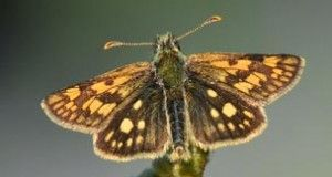 The reintroduction of the Chequered Skipper