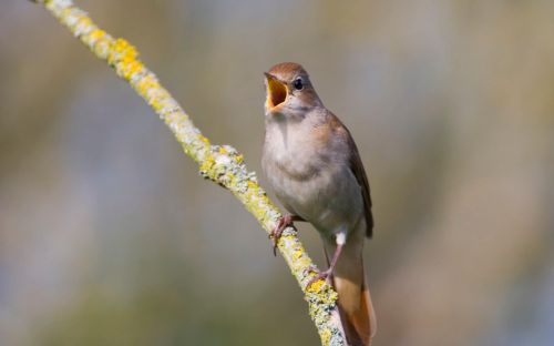 Train platforms and shopping centres to come alive with sound of birdsong as part of RSPB efforts to raise awareness of declining numbers