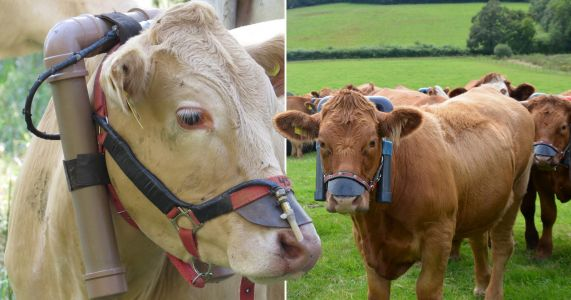 Cow burps to be measured to make farming 'greener'