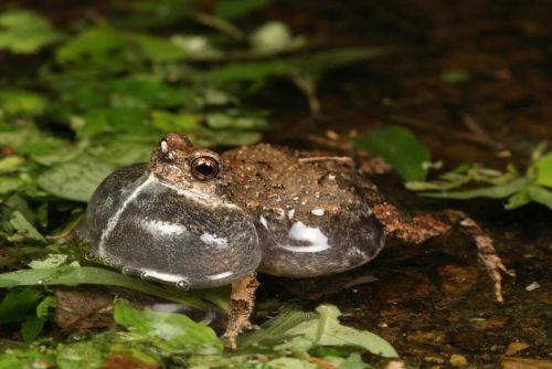 City frogs are sexier than those in the wild, say researchers
