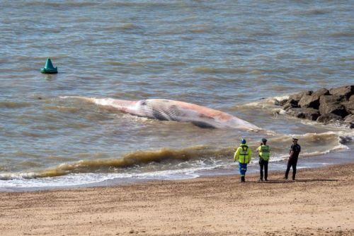 Giant 40ft whale washes up on UK beach as mission launched to move body