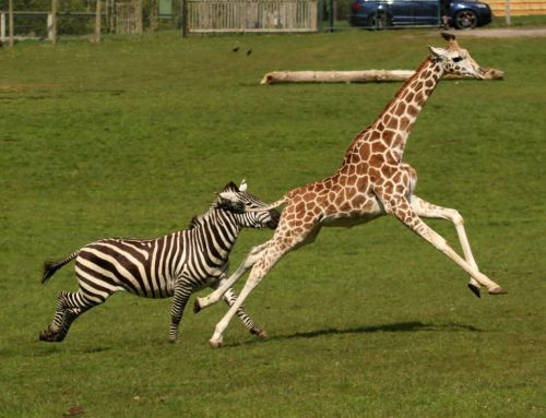 Giraffe and zebra race to see who's the fastest