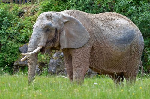 Britain's oldest African elephant dies aged 49