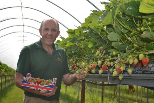 UK has bumper strawberry crop thanks to weather but may not have enough pickers