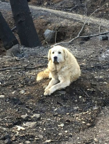 Dog survived California wildfires then protected owner's home for a month until she returned