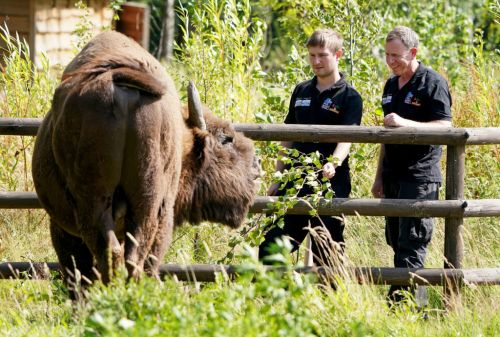 'Bison Ranger' may just be Britain's coolest new job