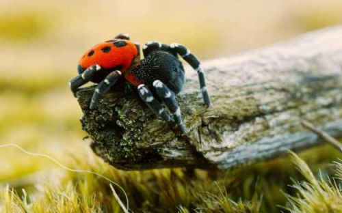 Ladybird spider among 80 animals at risk of extinction