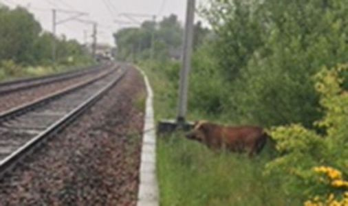Rail services disrupted for hours by wild boar on the train line - PICTURES