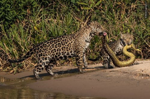Snake-eating jaguars and boxing orangutans on shortlist for Wildlife Photographer of the Year