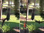Squirrel trying to sneak a snack from a motorized bird feeder gets spun around